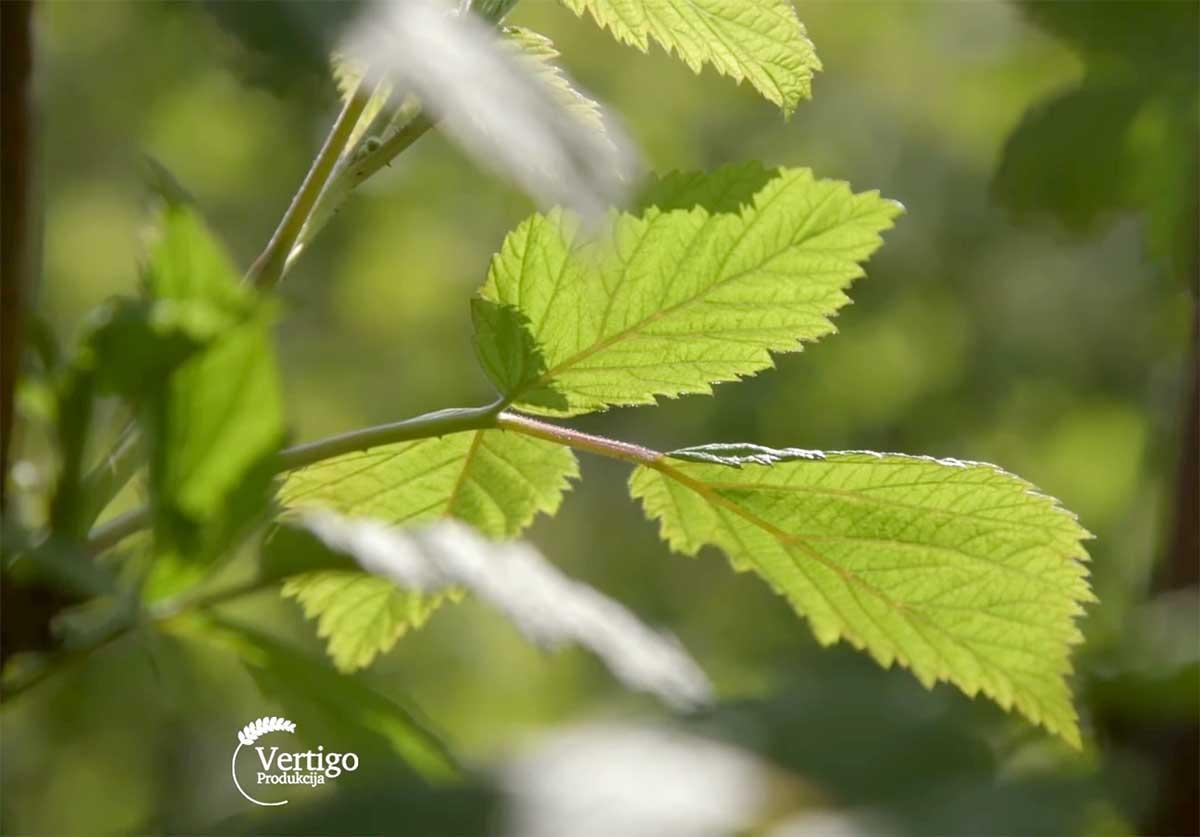 Agrosaveti---Uzgoj-malina-kod-Leskovca---02