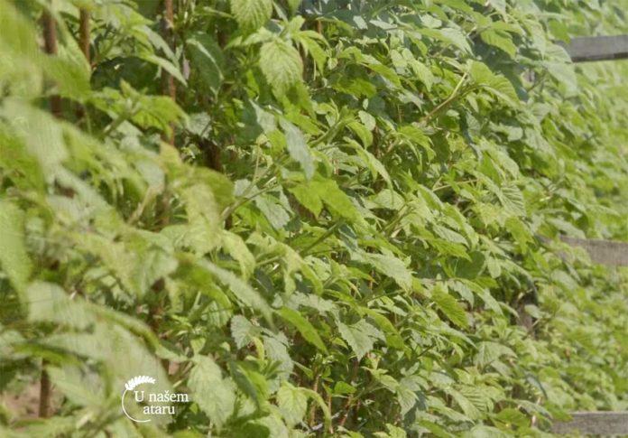 Agrosaveti---Uzgoj-malina-kod-Leskovca---03