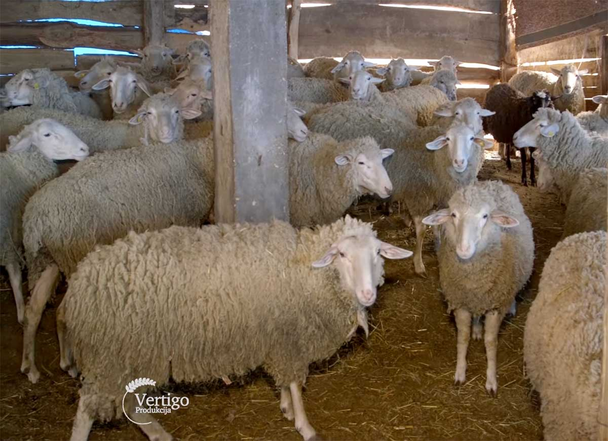 Agrosaveti---Uzgoj-virtemberg-rase-ovaca-u-Lopusniku---02