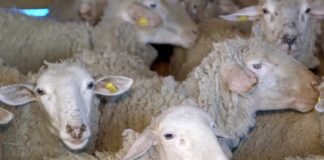 Agrosaveti---Uzgoj-virtemberg-rase-ovaca-u-Lopusniku---03