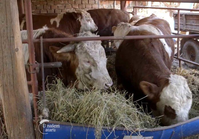 Agrosaveti---Uzgov-bikova,-svinja-i-ovaca-u-Begecu---02