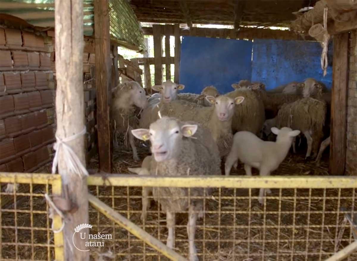 Agrosaveti---Uzgov-bikova,-svinja-i-ovaca-u-Begecu---03