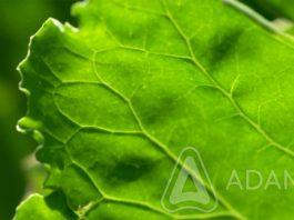 Agrosaveti---Adama---Secerna-repa---Cerkospora
