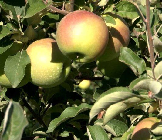 Agrosaveti---Adama---jabuka---insekti---insekticid---Pyrinex---jabucasto-voce