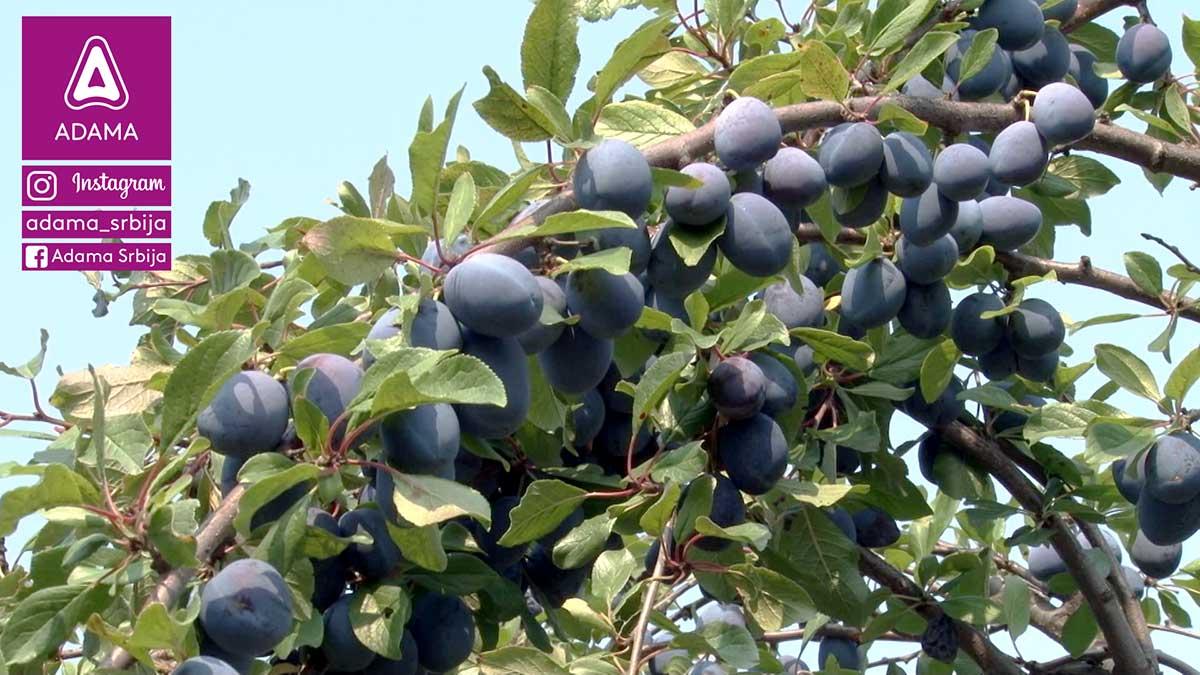 Agrosaveti---Adama---sljiva---insekti---insekticid---Pyrinex---kosticavo-voce