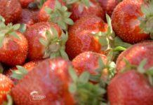 Agrosaveti---Berba-jagoda---Backa-Palanka---03