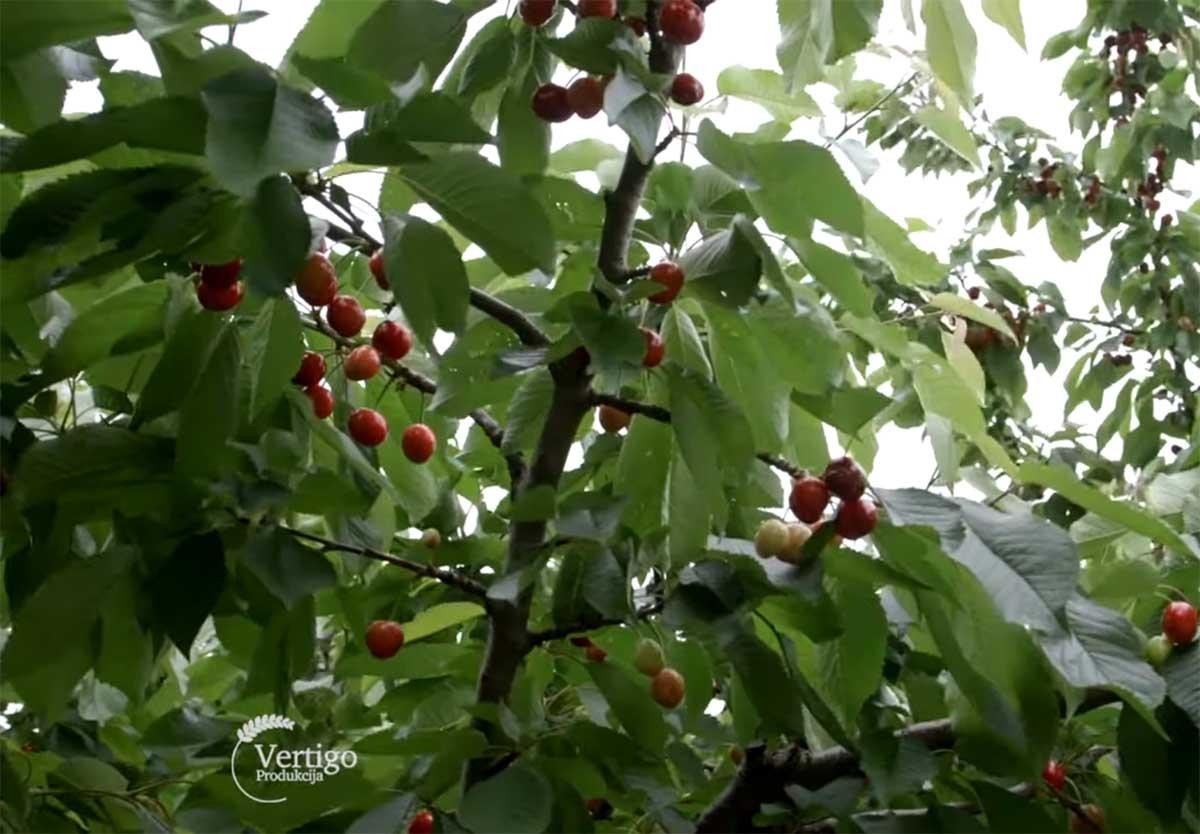 Agrosaveti---Berba-tresanja---Miokovci---02