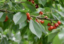 Agrosaveti---Berba-tresanja---Miokovci---03