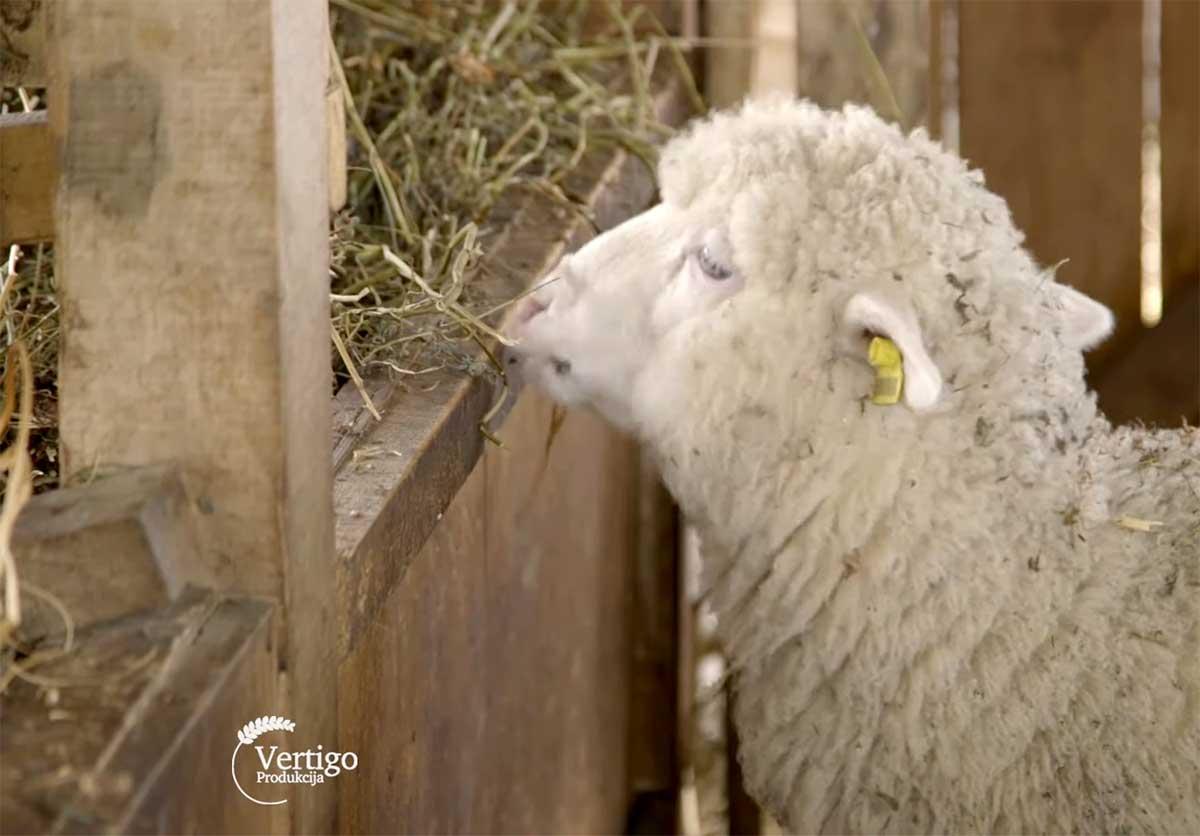 Agrosaveti---Farma-Il-de-France-ovaca---Stepojevac---01