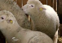 Agrosaveti---Farma-Il-de-France-ovaca---Stepojevac---02