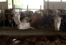 Agrosaveti---IPARD---Farma-krava---Tavankut---03