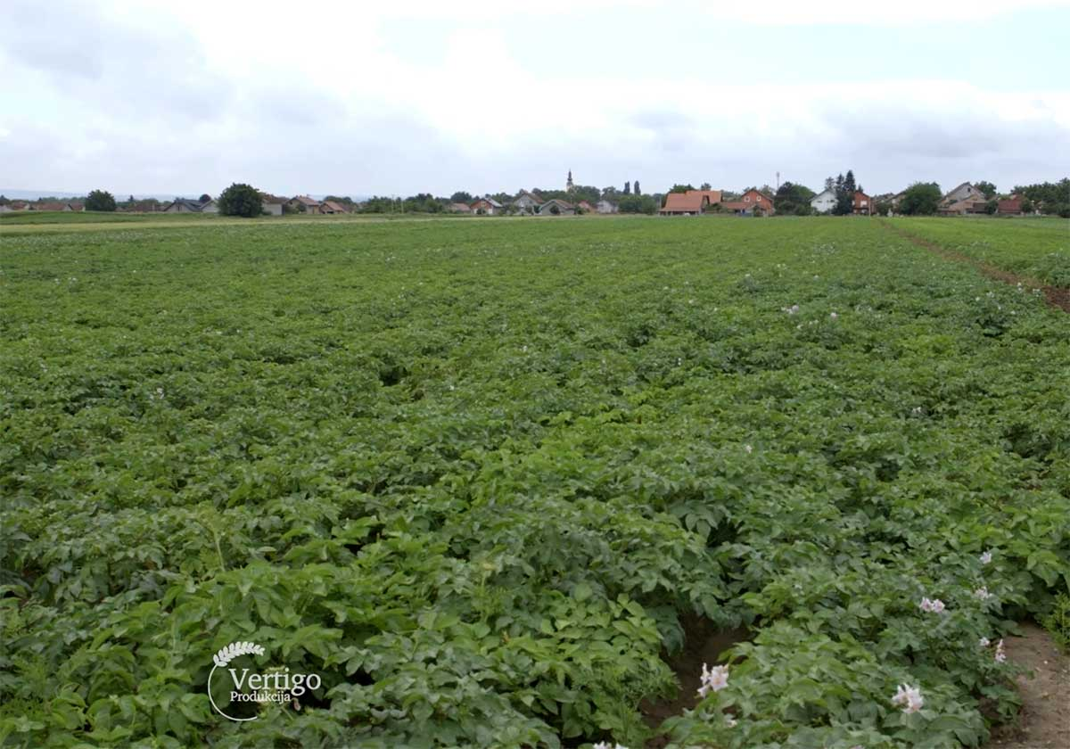 Agrosaveti---Proizvodnja-mladog-krompira---Begec---01