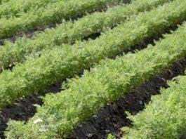 Agrosaveti---Proizvodnja-sargarepe---Banat---02