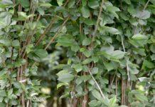 Agrosaveti---Proizvodnja-vocnih-sadnica---Milutovac---01