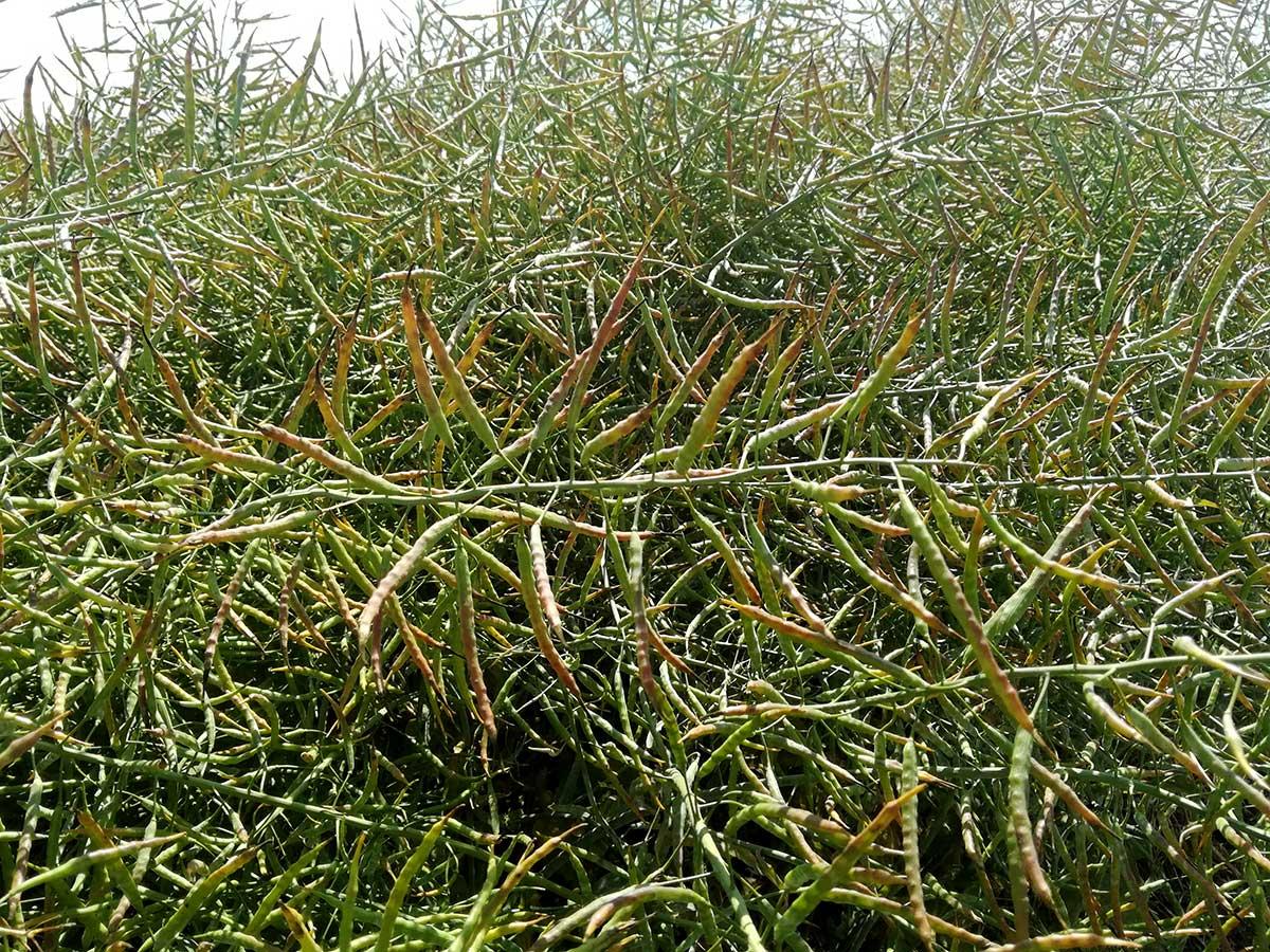 Agrosaveti---Uljana-repica---01