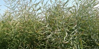 Agrosaveti---Uljana-repica---03