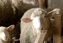 Agrosaveti----Uzgoj-Il-de-france-ovaca---Rakovo---03