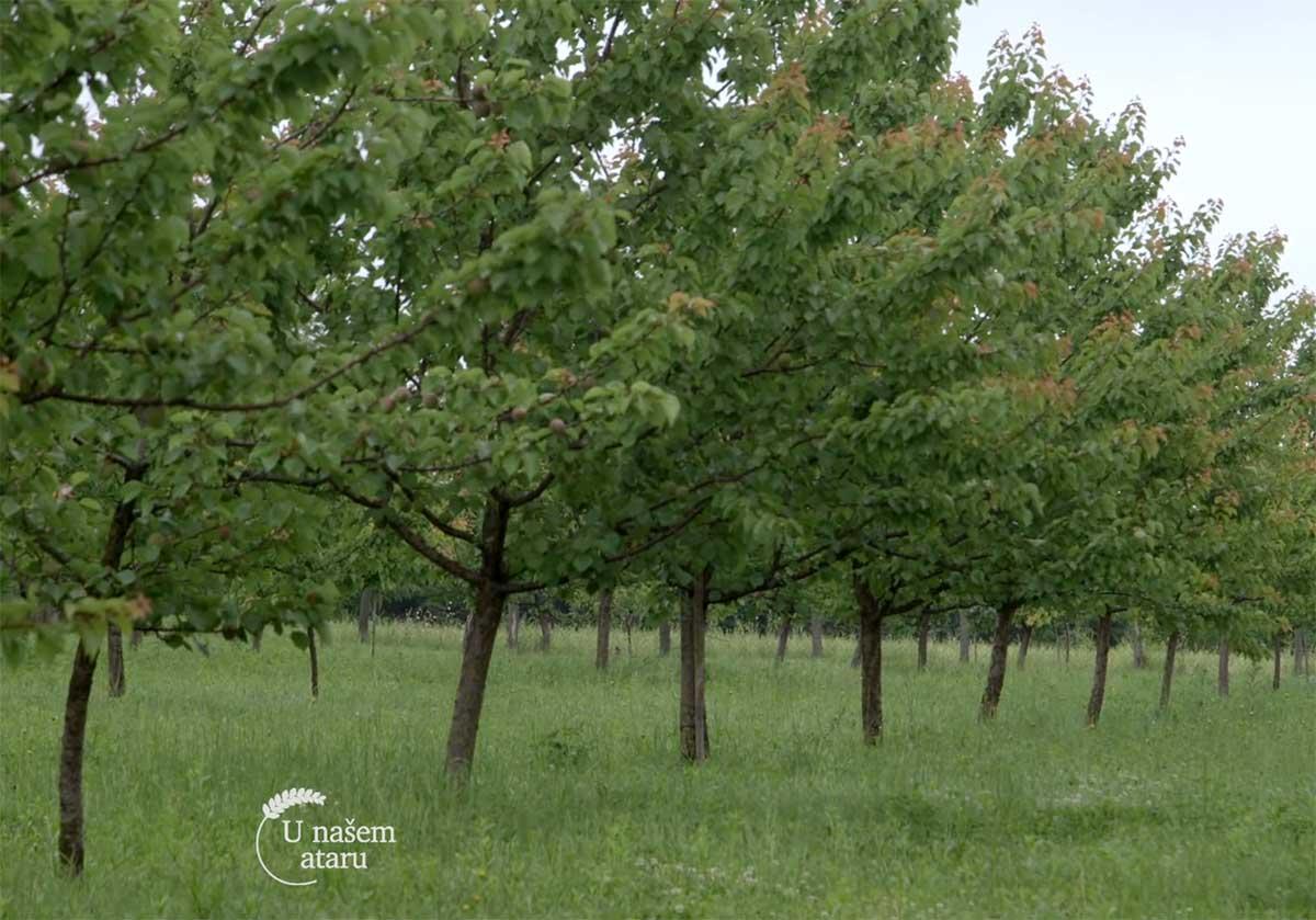 Agrosaveti---Uzgoj-kajsija---Guberevac---01