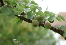Agrosaveti---Uzgoj-kajsija---Guberevac---03