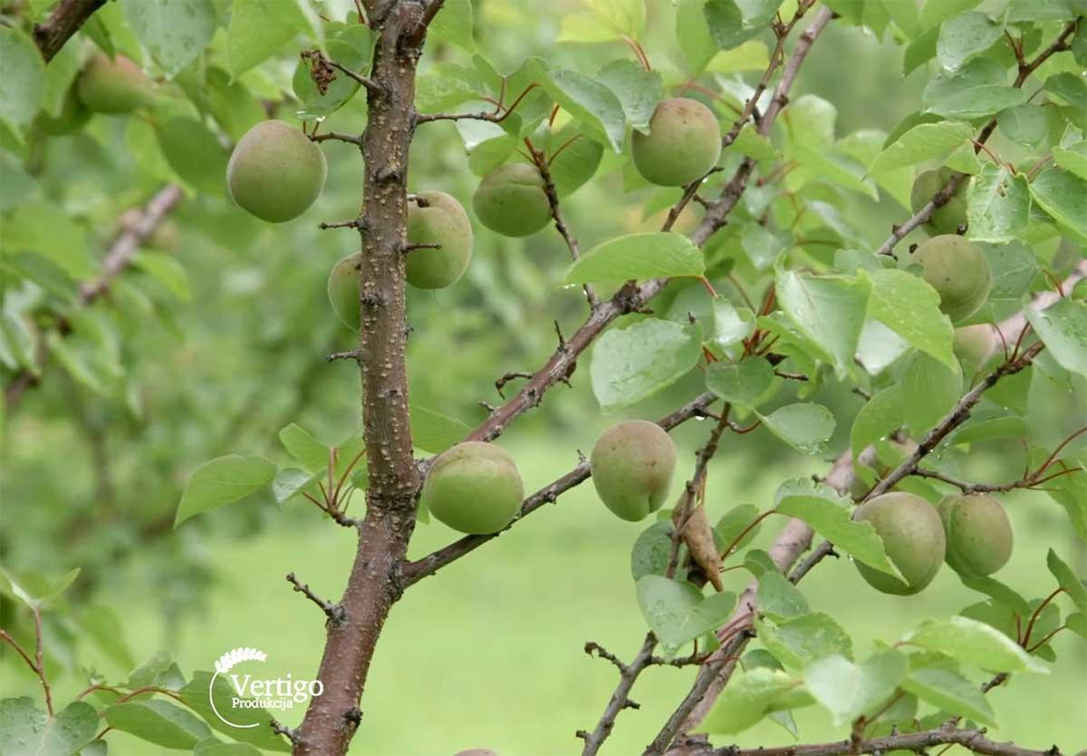 Agrosaveti---Uzgoj-kajsija---Guberevac---04