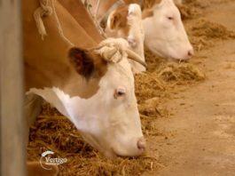 Agrosaveti---mleno-govedarstvo---krave---mleko---Klenj---03