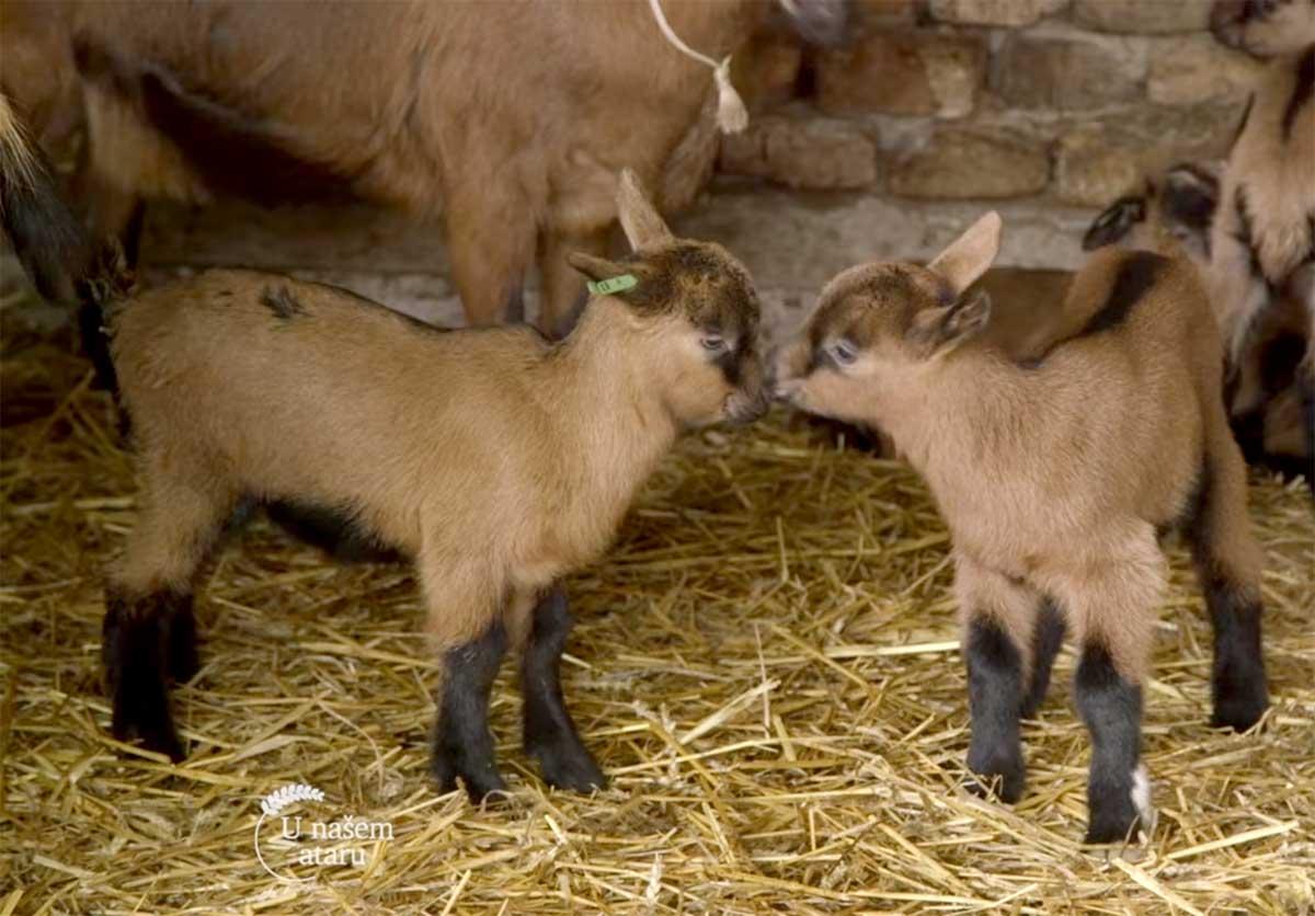 Agrosaveti---uzgoj-koza---Kumane---Alpino-koze---02