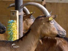 Agrosaveti---uzgoj-koza---Kumane---Alpino-koze---03