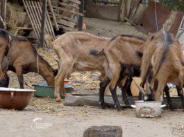 Agrosaveti---uzgoj-koza---kozji-sir---Slankamen---01