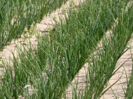 Agrosaveti---Proizvodnja-crnog-luka---01
