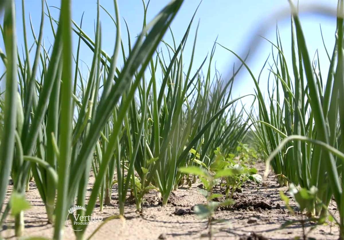 Agrosaveti---Proizvodnja-crnog-luka---03