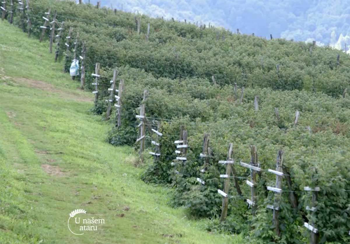 Agrosaveti---Proizvodnja-malina---Lucani---01