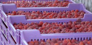 Agrosaveti---Proizvodnja-malina---Lucani---02