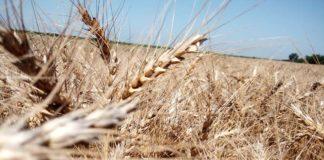 Agrosaveti---Psenica---Isplativost---kalkulacija---zetveni-dani-03