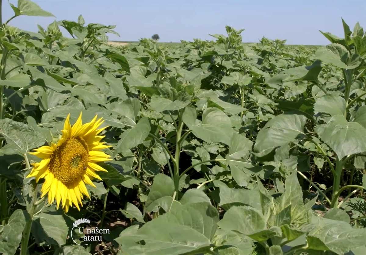 Agrosaveti---Ratarska-proizvodnja---Kovacica---01