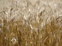 Agrosaveti---Ratarska-proizvodnja---Kovacica---02