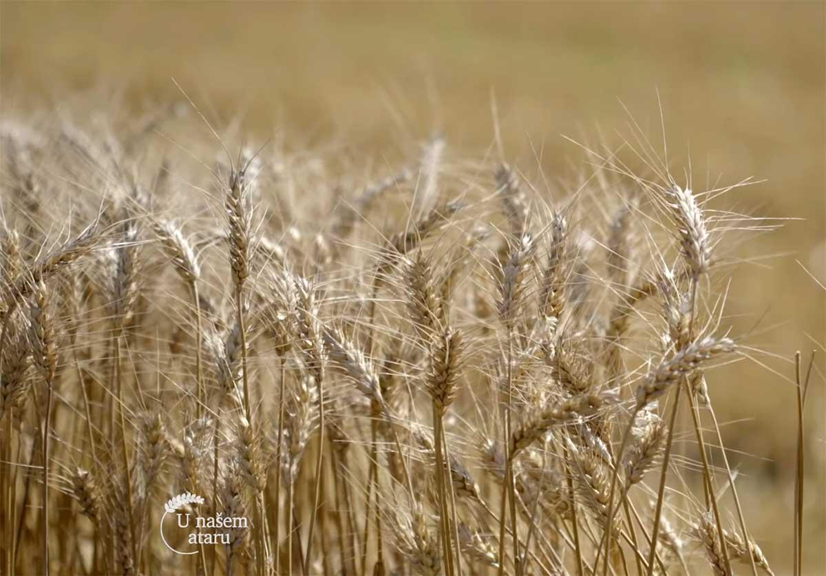 Agrosaveti---Ratarska-proizvodnja---Kovacica---03