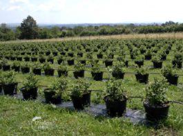 Agrosaveti---Uzgoj-borovnica---Sumadija---01