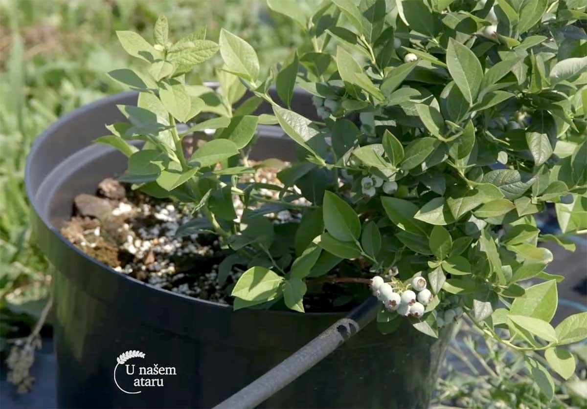 Agrosaveti---Uzgoj-borovnica---Sumadija---03