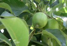 Agrosaveti---Uzgoj-jabuka---Backa-Palanka---01