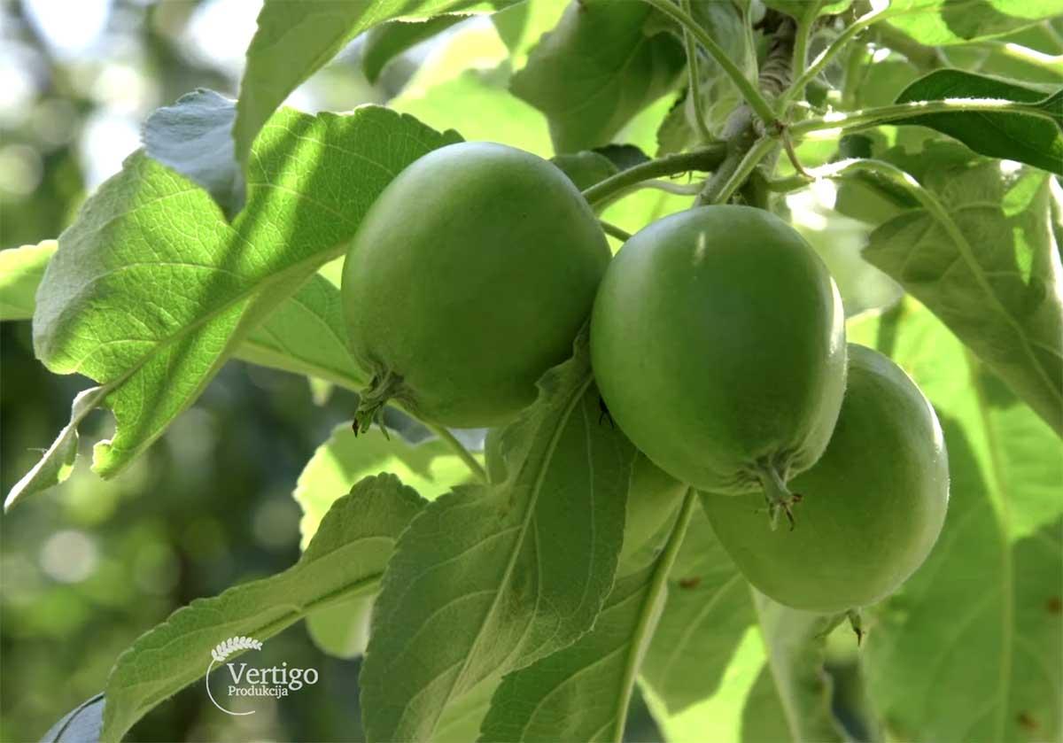 Agrosaveti---Uzgoj-jabuka---Backa-Palanka---02