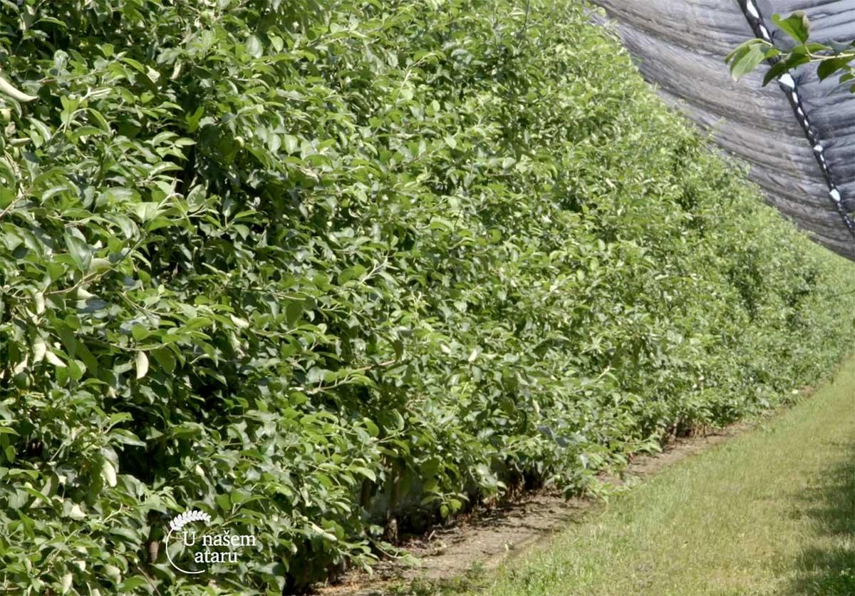 Agrosaveti---Uzgoj-jabuka---Backa-Palanka---03