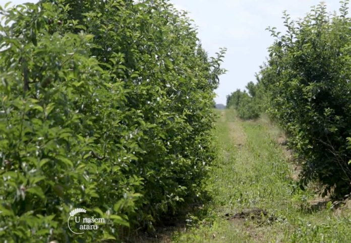 Agrosaveti---Uzgoj-jabuka---Tavankut---01