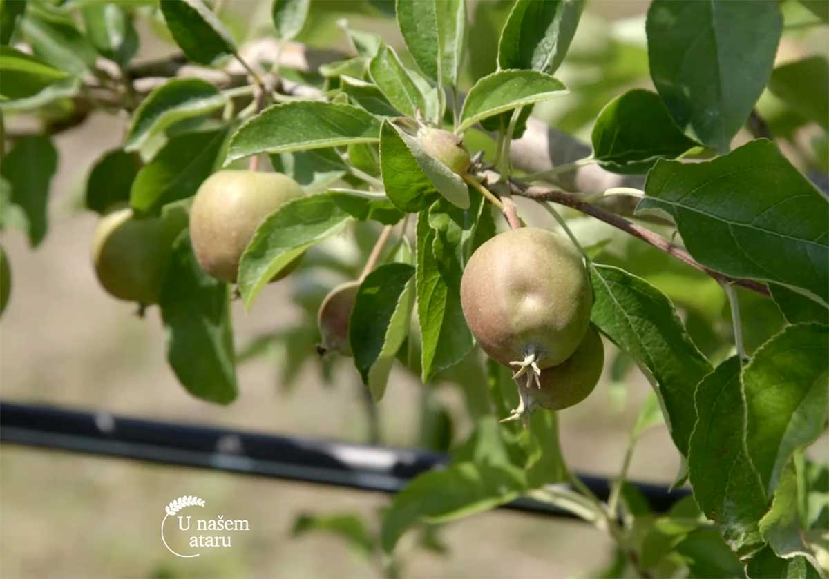 Agrosaveti---Uzgoj-jabuka---Tavankut---03