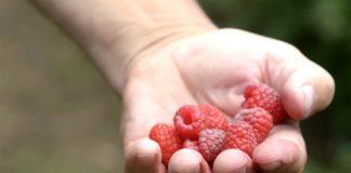 Agrosaveti---Uzgoj-malina---Beli-Kamen---01