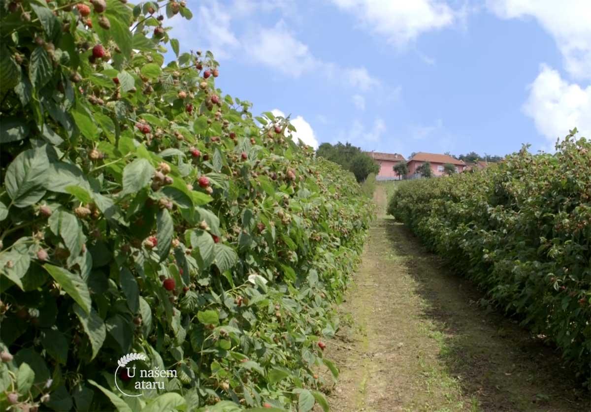 Agrosaveti---Uzgoj-malina---Beli-Kamen---03