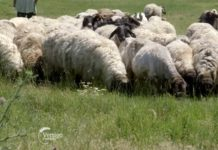 Agrosaveti---Uzgoj-ovaca---Cigaja---Sakule---01