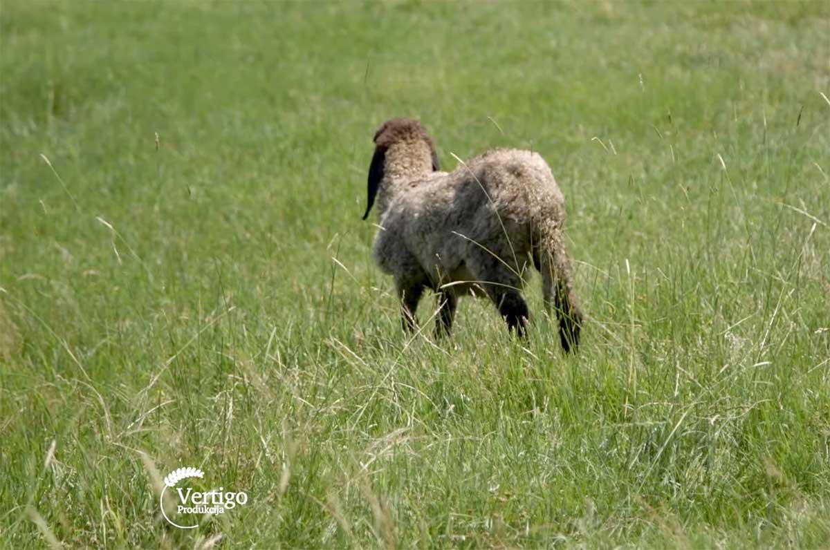 Agrosaveti---Uzgoj-ovaca---Cigaja---Sakule---03