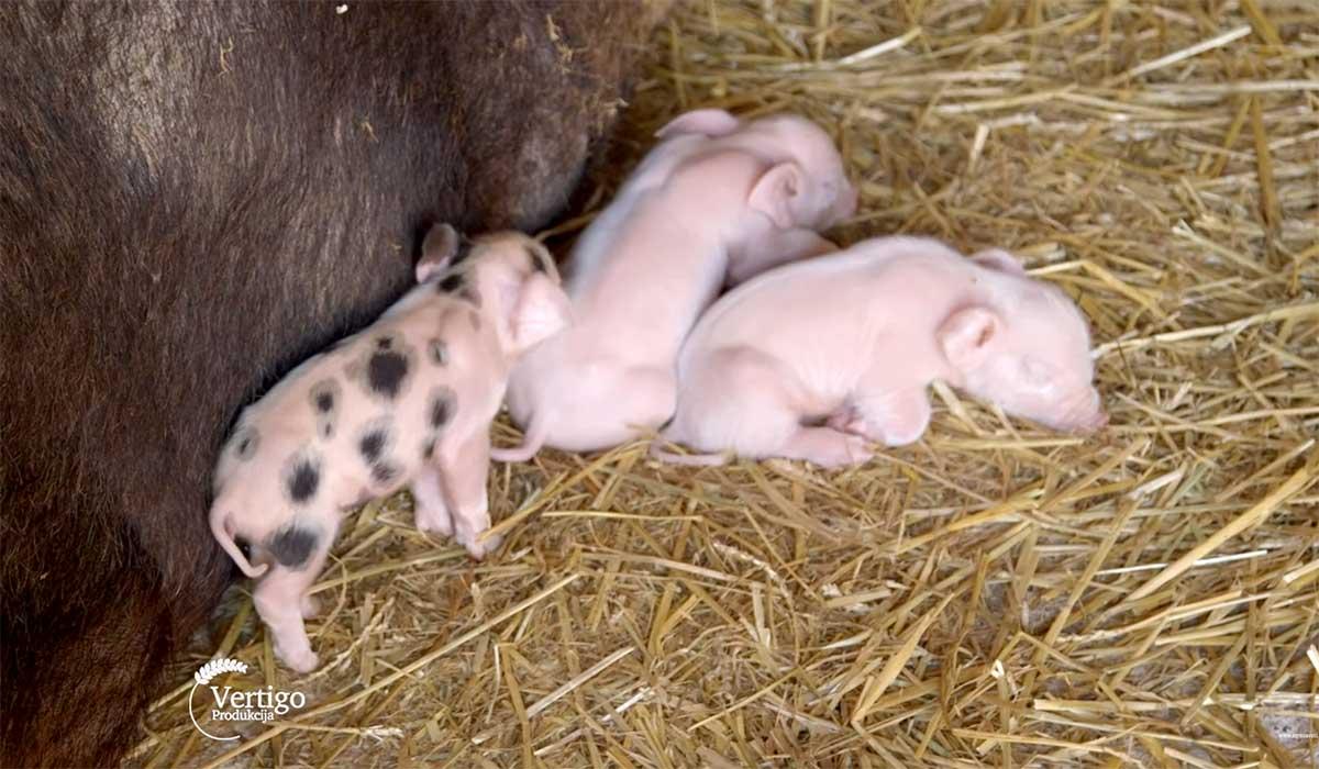 Agrosaveti---Uzgoj-svinja---Backo-Dobro-Polje---04