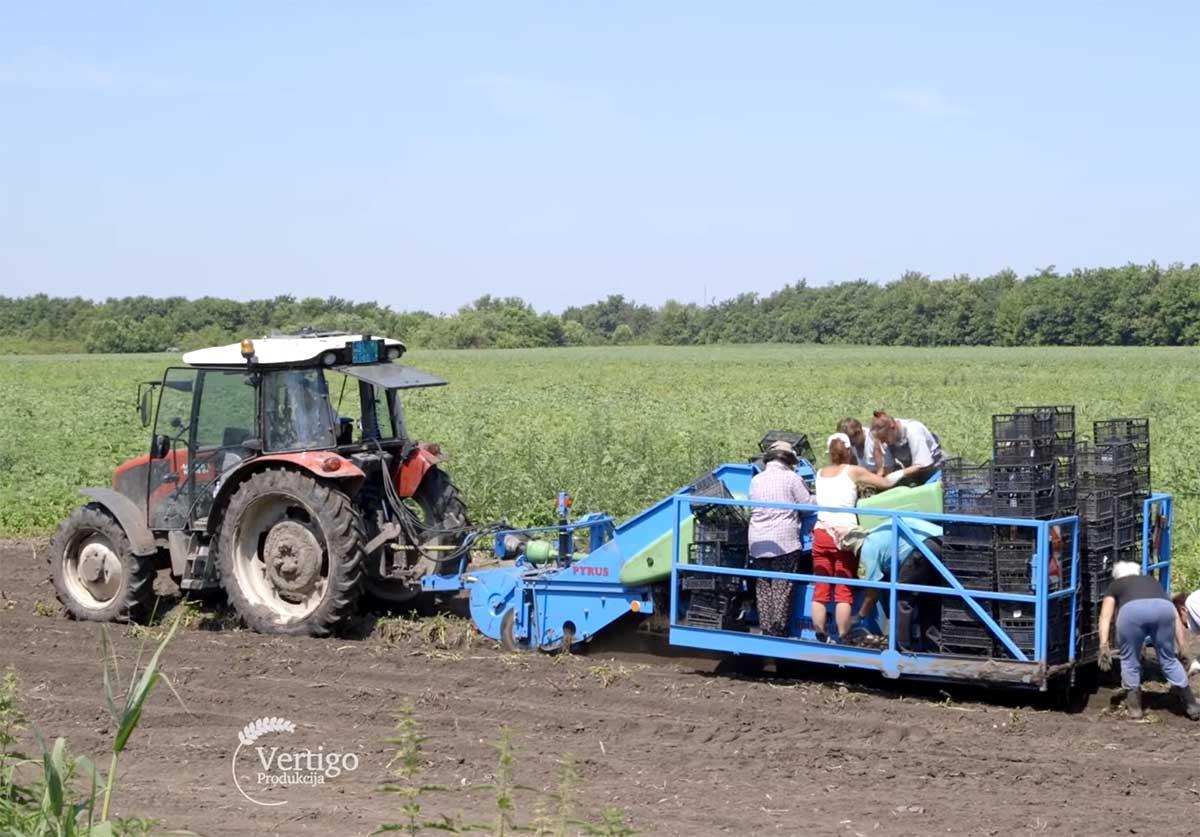 Agrosaveti---Vadjenje-mladog-krompira---01