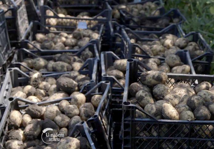 Agrosaveti---Vadjenje-mladog-krompira---03
